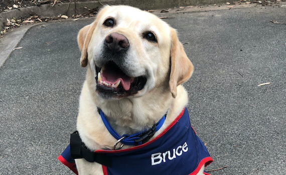 New Recruit for Ambulance Victoria: Bruce the Labrador