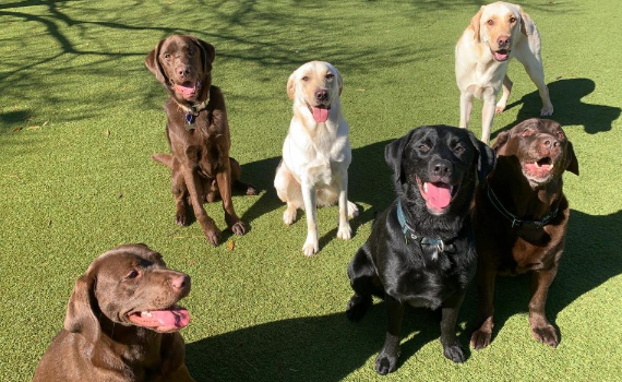 Why Labradors are the Perfect Pet
