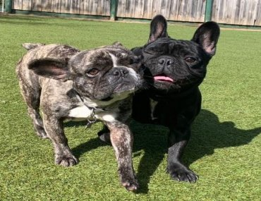 French Bulldogs – Oh So Chic Right Now!
